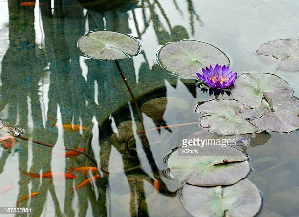 Water Lillies and Goldfish Swim Beneath a Plant Reflection