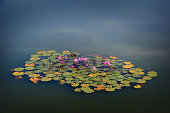 Water Lillies in temple pond, Siem Reap, Cambodia
