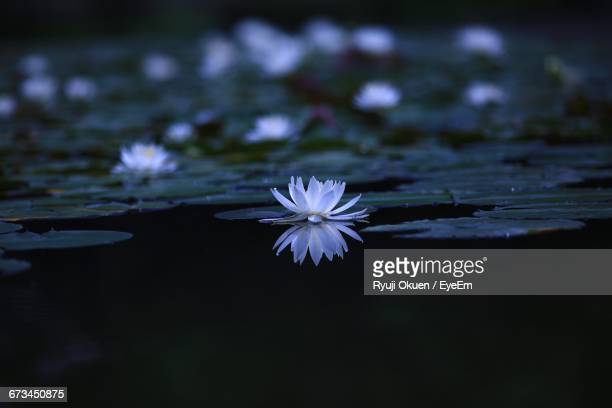 Water Lily Blooming In Pond
