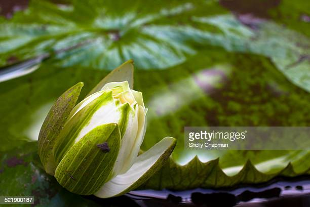 Water lily bud in tropical gardens