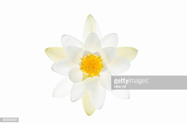 Water Lily flower against white background