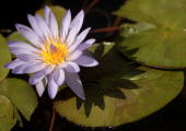A water lily is in full bloom during the press preview day of the Hampton Court Palace Flower Show on July 5 2010 in London England The 21st Hampton...