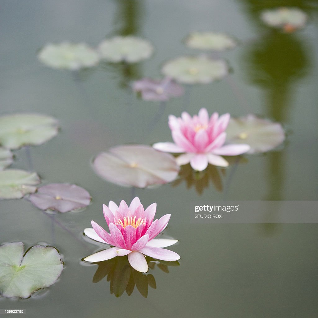 Water lily, Isola Bella Island : Stock Photo