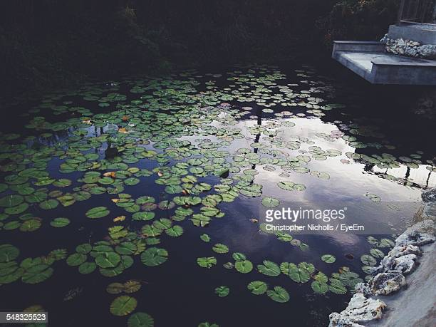 Water Lily Leaves Floating In Pond