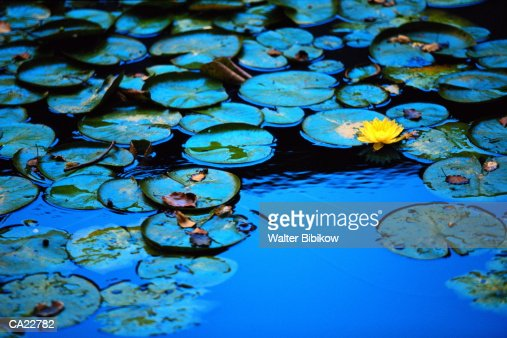 Water lily pads and flower (Nymphaea sp.), close-up : Foto de stock