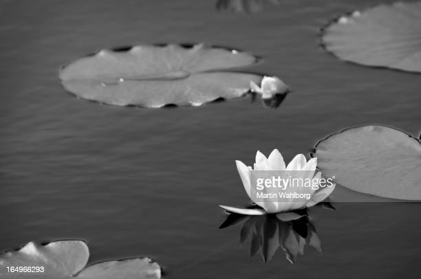 Water lily pond in black and white