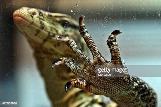 Water Monitor raises its hand in its tank at the Royal Society for the Prevention of Cruelty to Animals reptile rescue centre on May 29 2015 in...