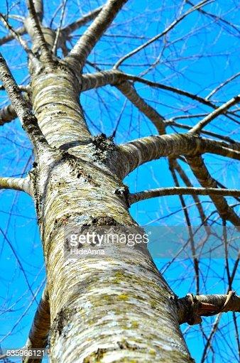 Water Oak Tree Trunk : Stock Photo