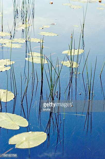 Water plants reflected in the water