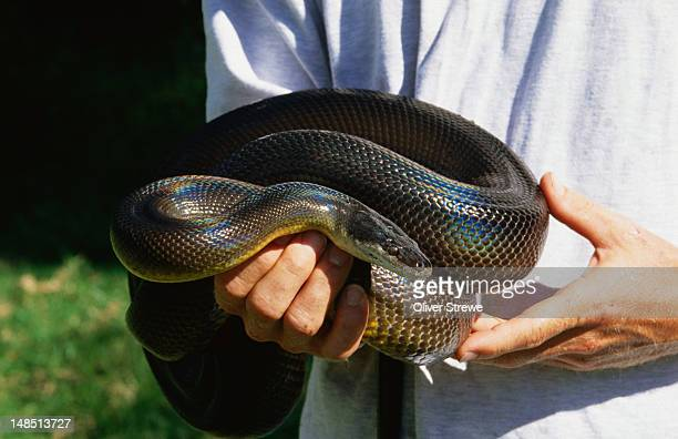 Water python curled up in someone's hands.