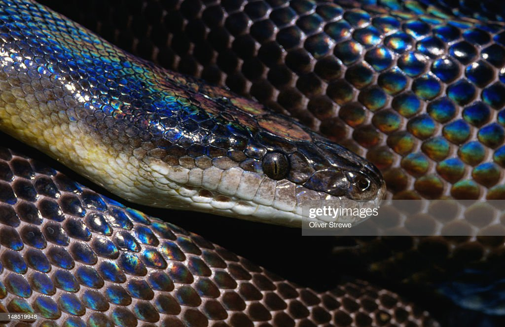 Water Python. : Stock Photo