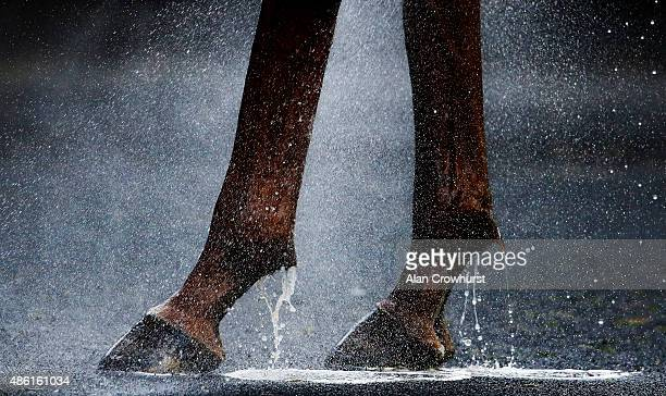 Water runs down the legs as a horse is hosed down at Goodwood racecourse on September 01 2015 in Chichester England