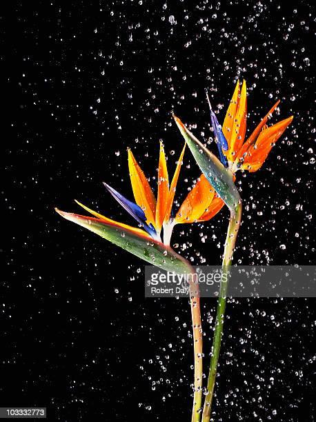 Water splashing on two bird of paradise flowers