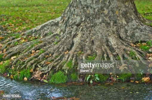 Water stream passing roots of big old tree at morning : Stock Photo