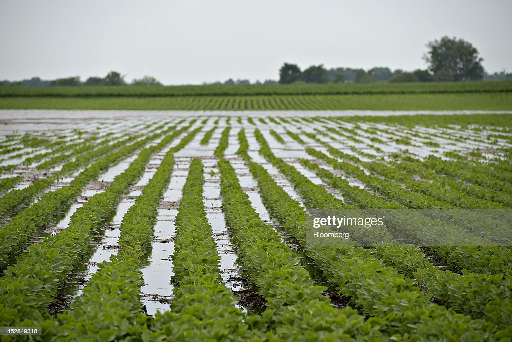 Water surrounds soybean plants in a field near Wyanet, Illinois, U.S., on Tuesday, July 1, 2014. A powerful wind storm, known as a derecho, swept from the Midwest to the western Great Lakes yesterday, bringing devastating wind gusts, reported tornadoes and heavy rain into Illinois, Iowa, and Nebraska according to Weather.com. Despite the weather, soybeans fell to the lowest since December 2011 as the outlook for record seedings boosted speculation that supplies will be ample in the U.S. Photographer: Daniel Acker/Bloomberg via Getty Images