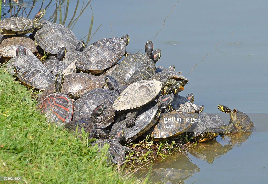 water turtles : Stock Photo