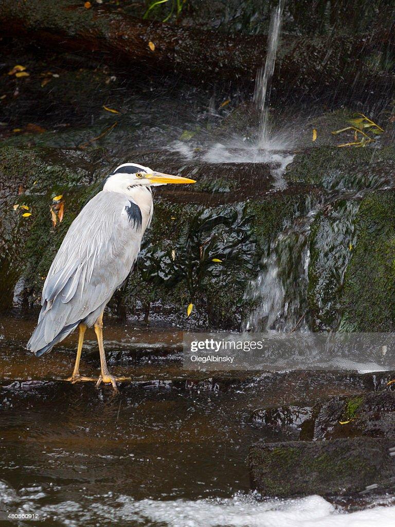 Waterbird in Water of Leith, Edinburgh, Scotland, United Kingdom. : Stock Photo