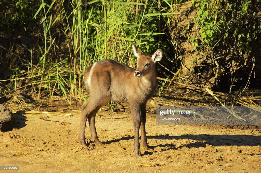 Waterbuck (Kobus ellipsiprymnus) calf in a forest, Makalali Game Reserve, South Africa : Stock Photo