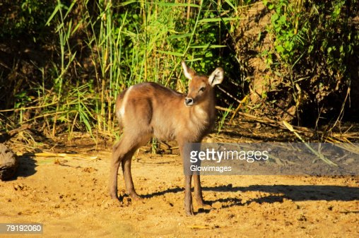 Waterbuck (Kobus ellipsiprymnus) calf in a forest, Makalali Game Reserve, South Africa : Foto de stock