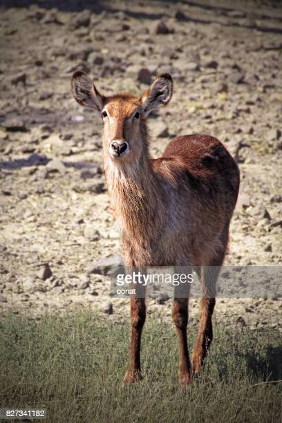 Waterbuck - female