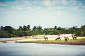 Waterbuck herd by the lake (Selous Game Reserve, Tanzania, Africa).