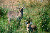 Waterbuck male and female on riverbank Kruger National Park South Africa