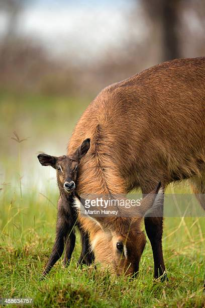 Waterbuck (Kobus ellipsiprymnus) Mother with newly born calf. Lake Nakuru National Park. Kenya