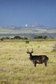 Waterbucks with antlers looking into camera with Mount Kenya in background Lewa Conservancy Kenya Africa