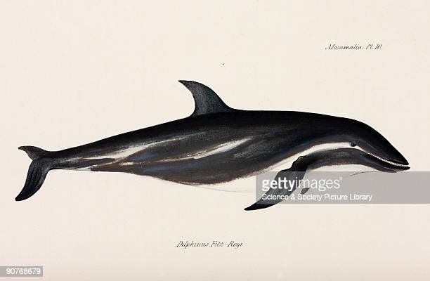 Watercolour by Admiral Robert Fitzroy from 'The Zoology of the Voyage of HMS Beagle' published in London 18391843 and edited by the British...