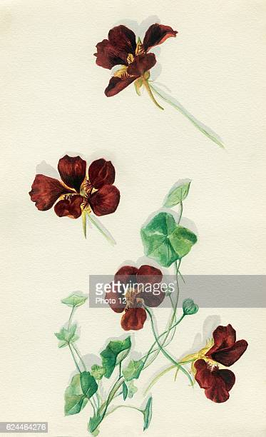 Watercolour drawing of nasturtium flowers and leaves from the Holy Land area By Grace Whiting artist Published between 1933 and 1961