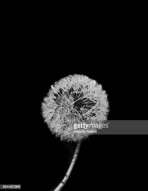 Water-covered dandelion puff on a black background