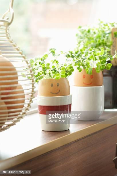Watercress growing in eggs shells on window sill