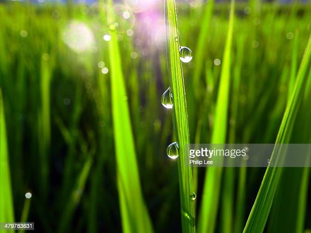 waterdrops in paddy