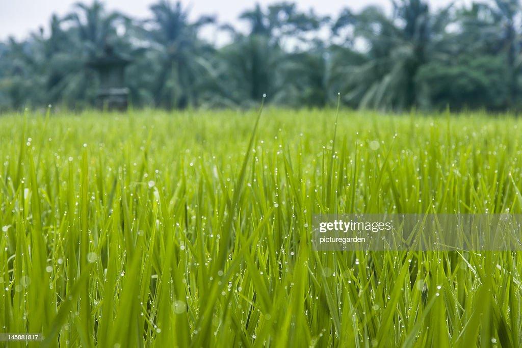 Waterdrops on Organic Rice Paddy : Stock Photo