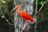 Big Bird (Scarlet Ibis) posing against a waterfall background.