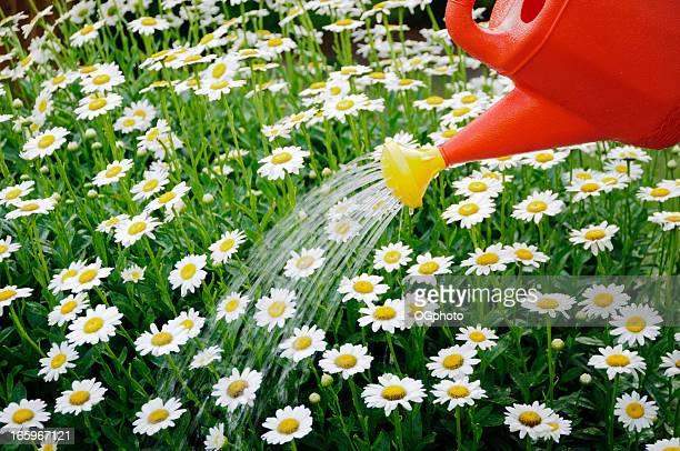 Arroser un lit de fleurs de Marguerite