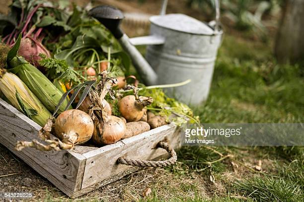 Watering can and wooden box full of freshly picked vegetables, including carrots, onions, beetroots, corn and potatoes.