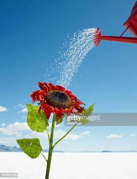 Watering can Watering Flower in Desert.