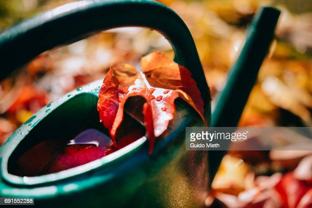 Watering can with autumnal colored leaf.
