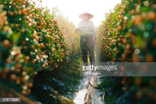 Watering Kumquat trees for Lunar New Year, Vietnam