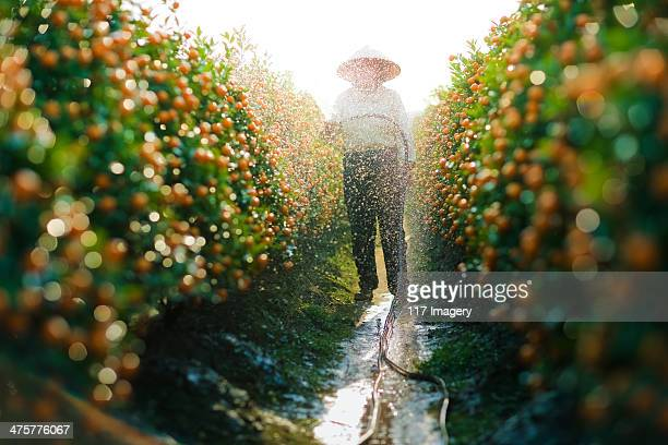 Watering Kumquat trees for Lunar New Year, Vietnam