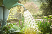 Watering the Vegetable Garden at Sunset
