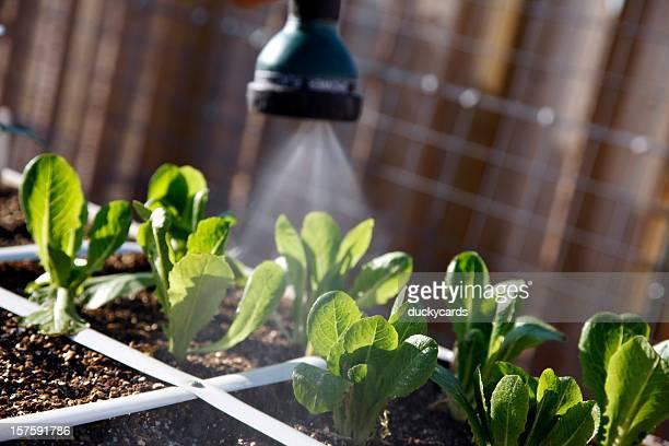 Gießen den Gemüsegarten