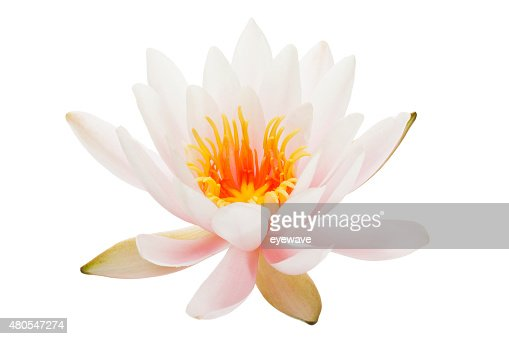 Waterlily Aislado en blanco : Foto de stock