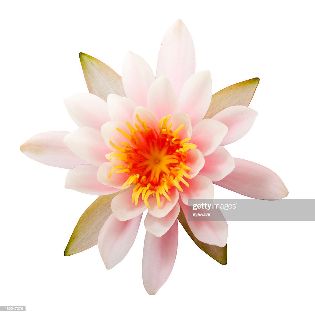 Waterlily isolated on white, top view : Stock Photo