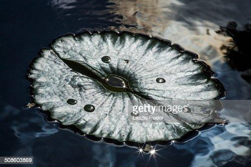 Waterlily Leaf : Stock Photo