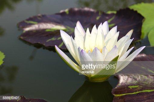 Waterlily o Flor de loto en estanque. : Foto de stock