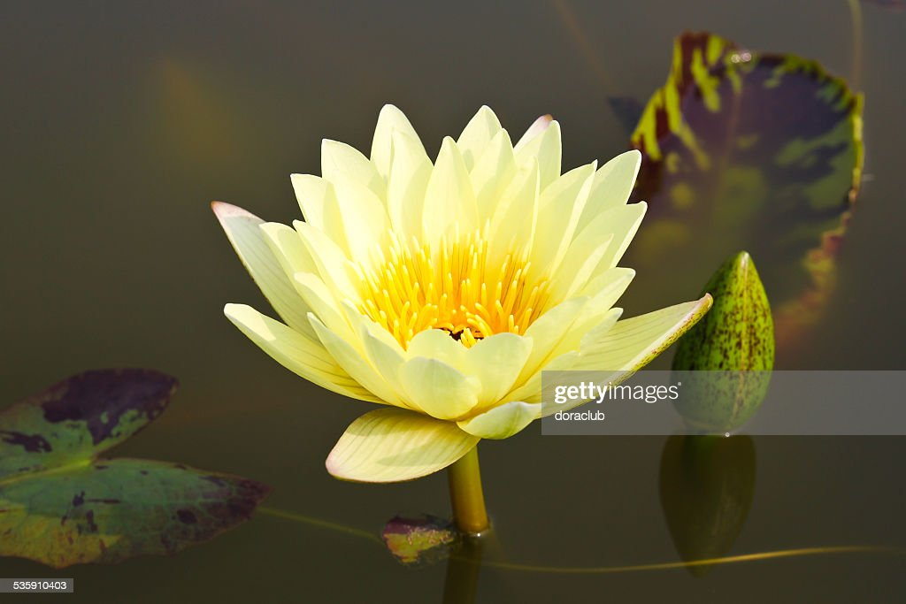Waterlily or Lotus Flower in pond. : Stock Photo