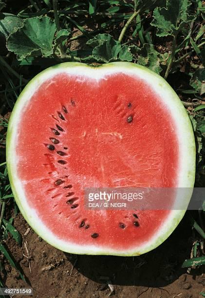 Watermelon Cucurbitaceae longitudinal section