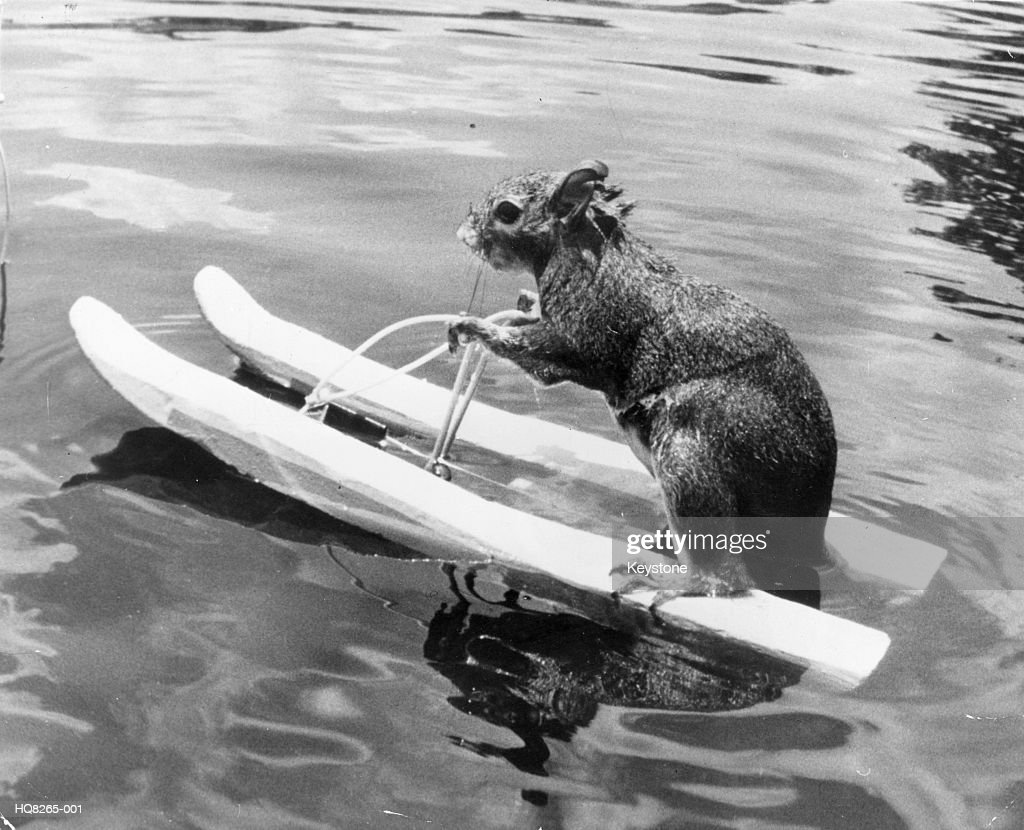 Water-Skiing Squirrel : Stock Photo